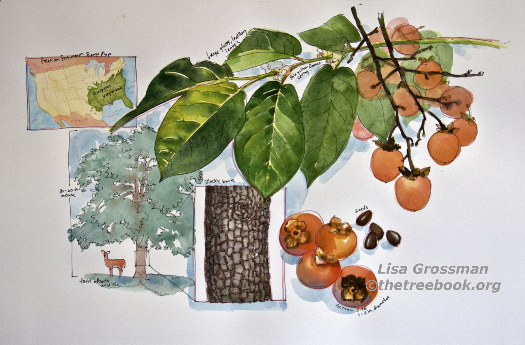 Lisa Grossman, Persimmon